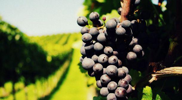 plantation raisin